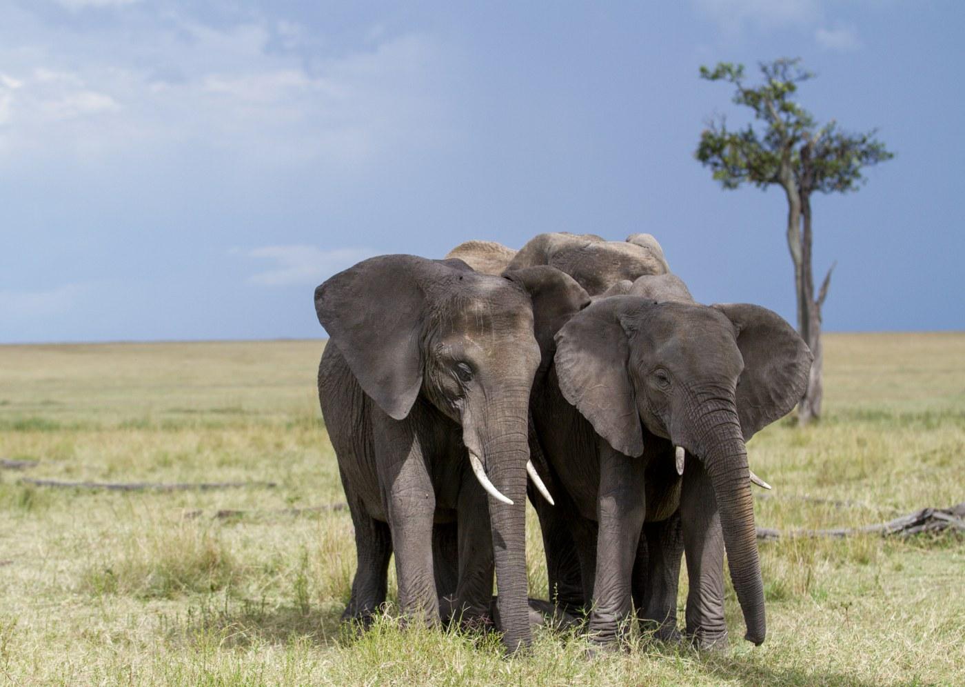 Elefantes na Gorongosa