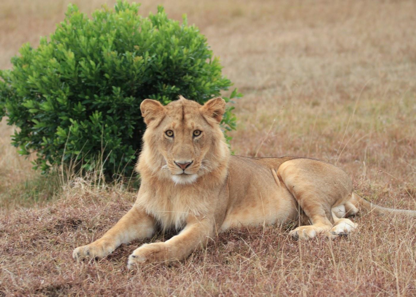 Leão no Parque da Gorongosa