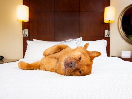 cão em cama de hotel