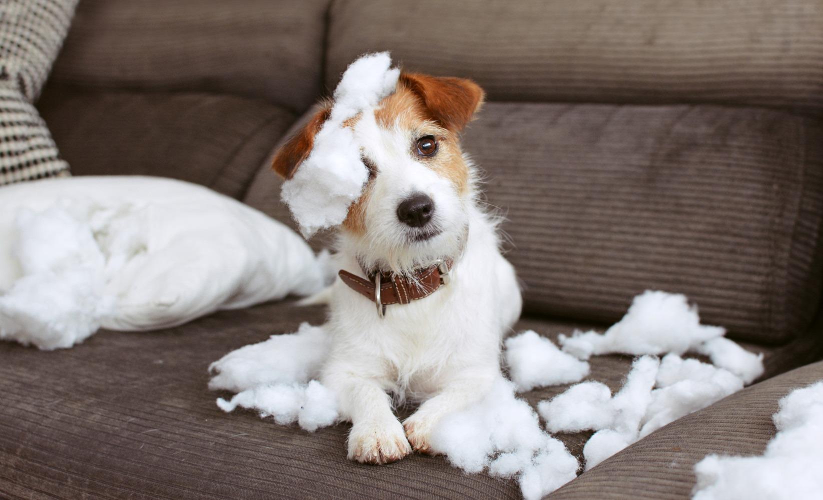 pets destruidores desfazem sofá