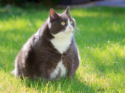 gatos obesos ou com excesso de peso