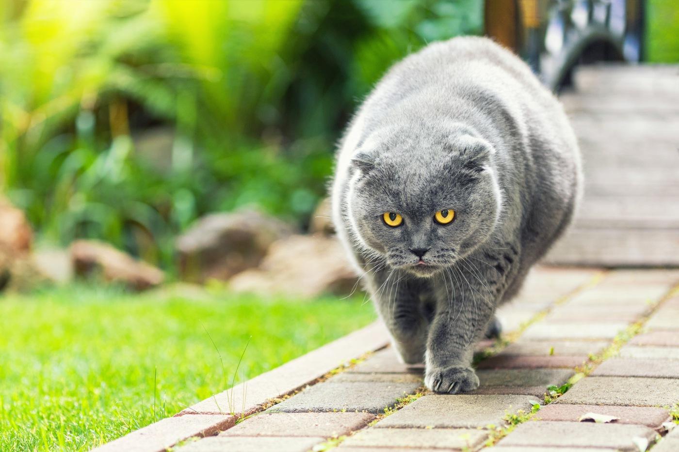 gatos obesos a caminhar