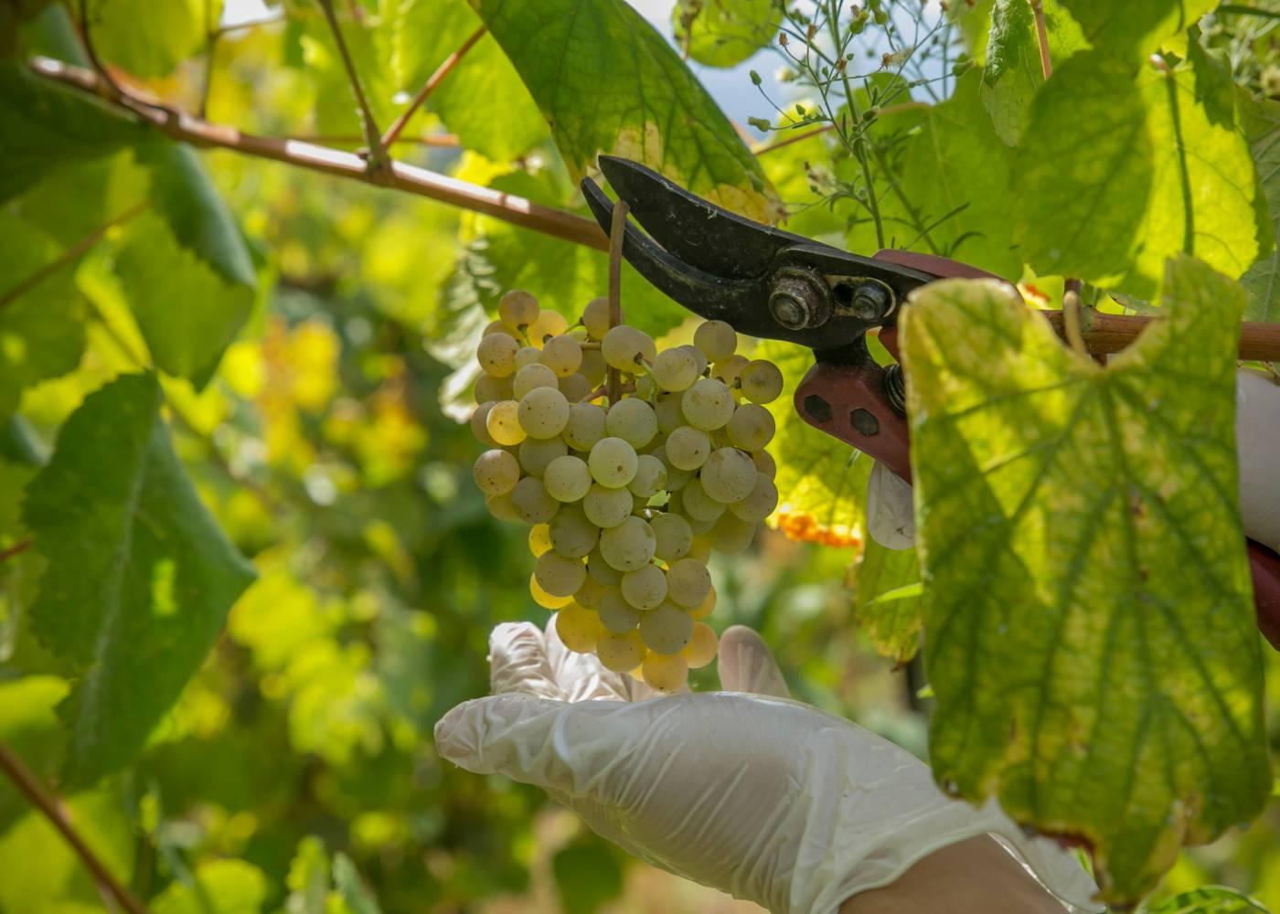 Uvas da casta alvarinho