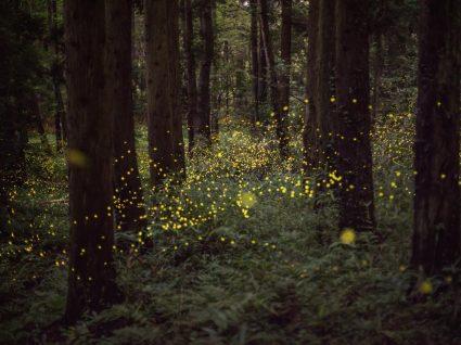 Foresta com pirilampos em risco de extinção