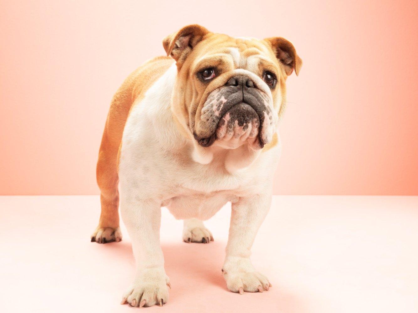 Cão de raça bulldog