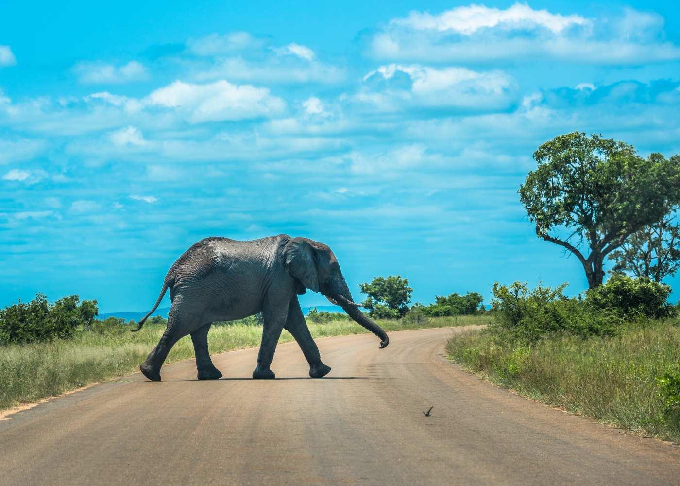 Elefante no Kruger Park