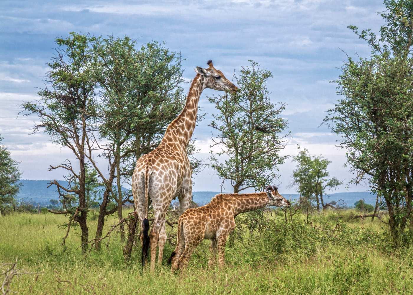 Girafas em África
