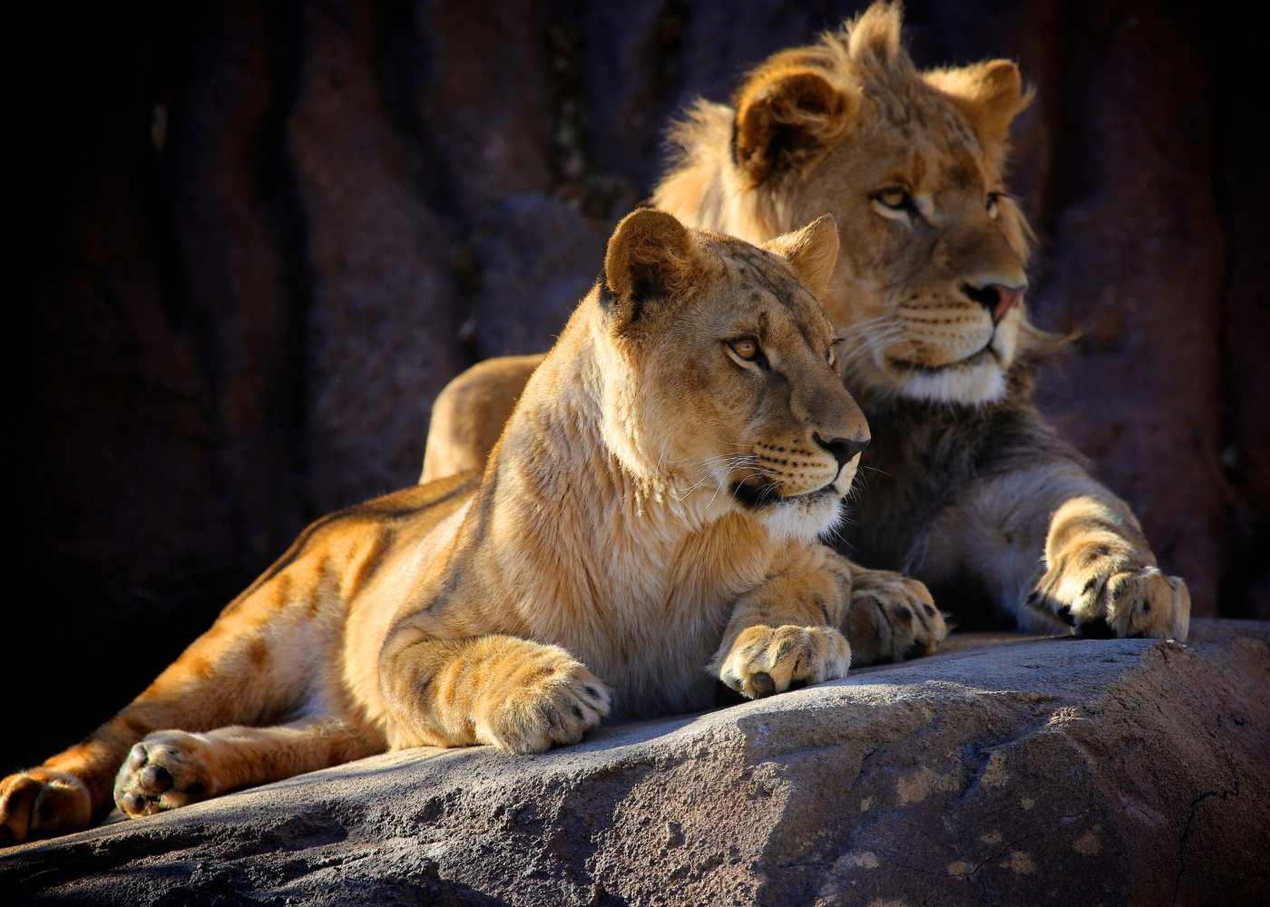 Leões no Kruger Park