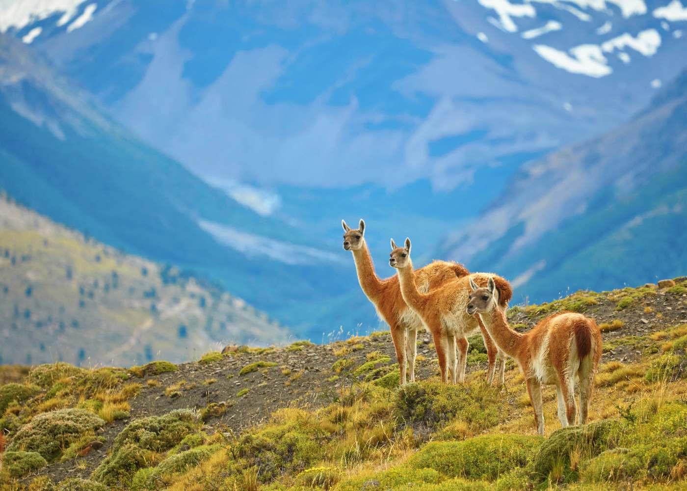 Animais na Patagónia chilena