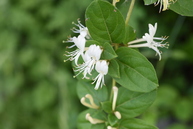 a planta da madressilva