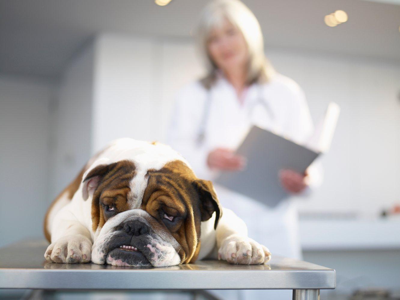 Cão que foi esterilizado