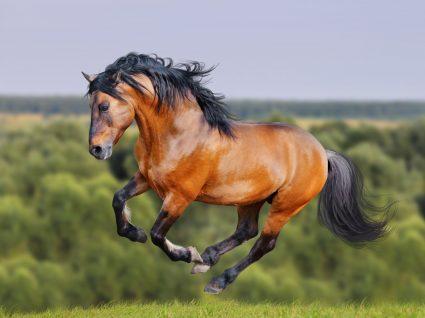 Golegã cavalos