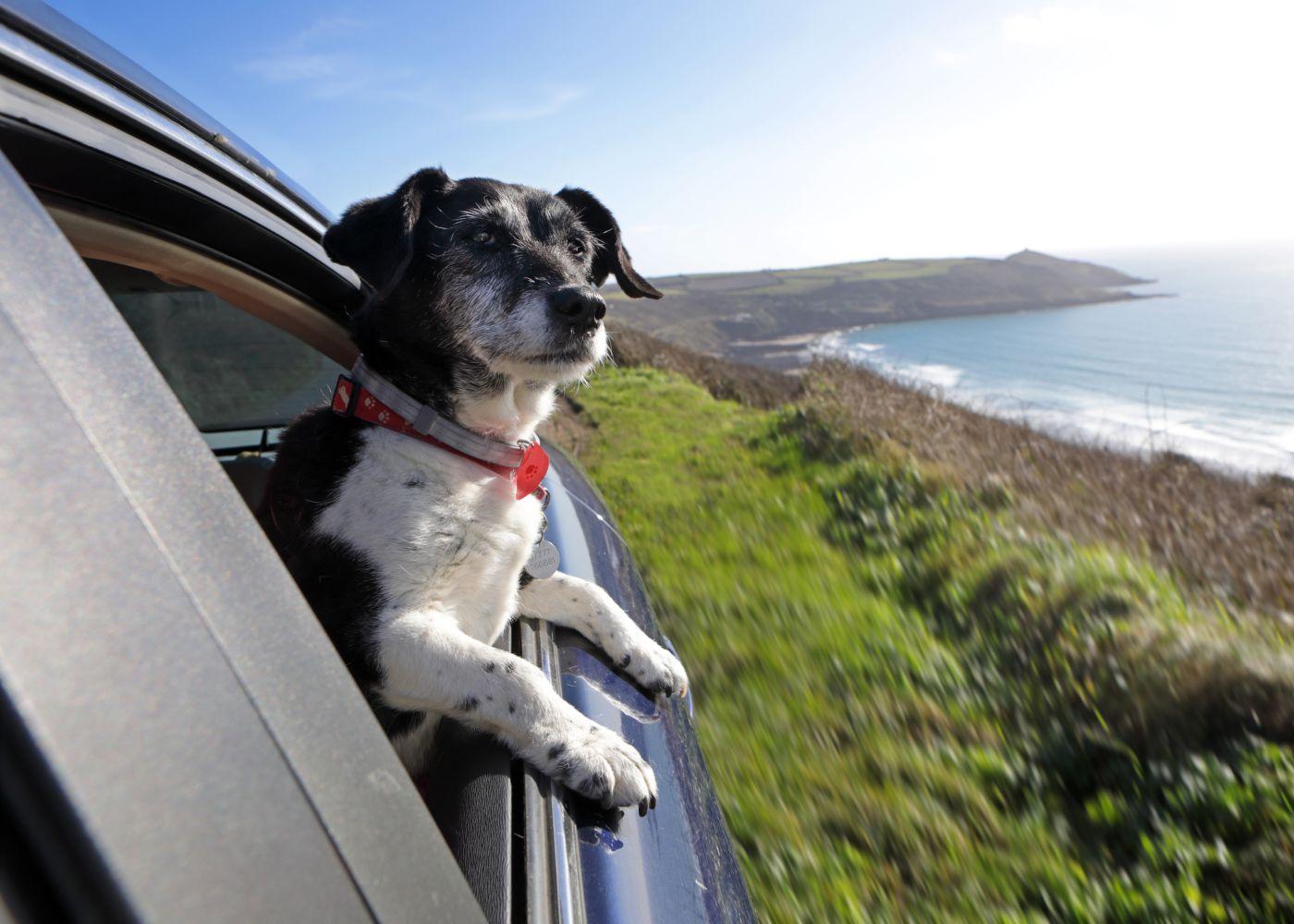 Cão na janela de um carro