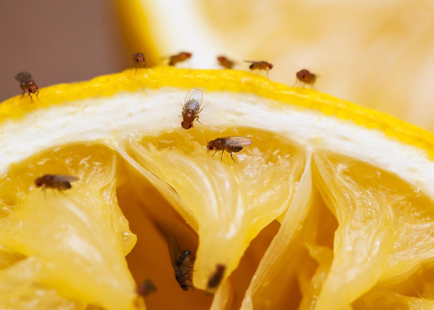 moscas na fruta