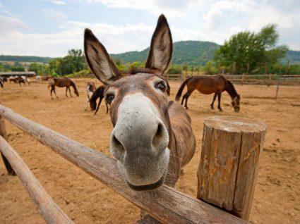 Apadrinhar um burro de Miranda