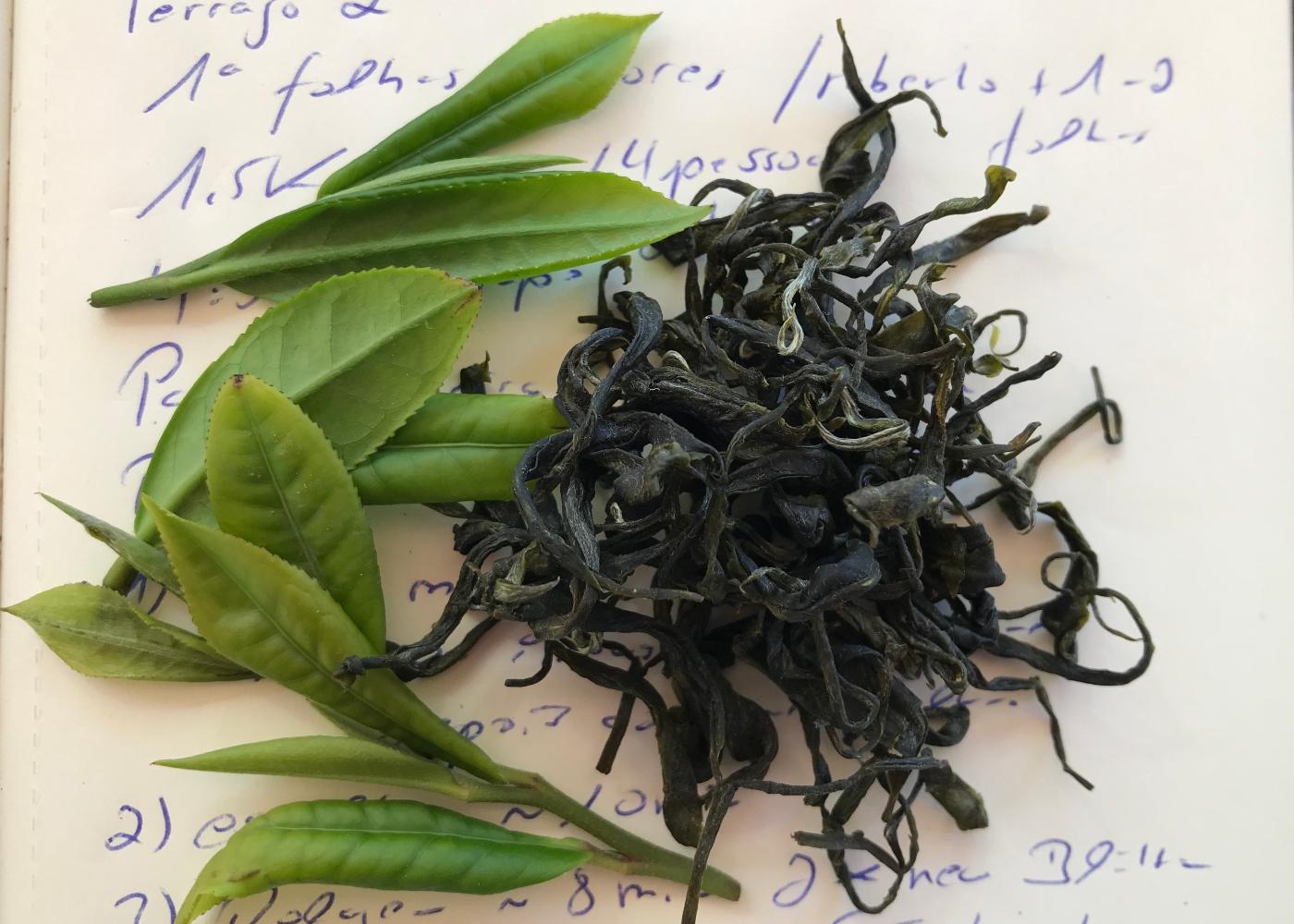 Chá Camélia: folhas verdes e secas