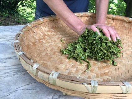 Chá Camélia: rolagem de folhas à mão