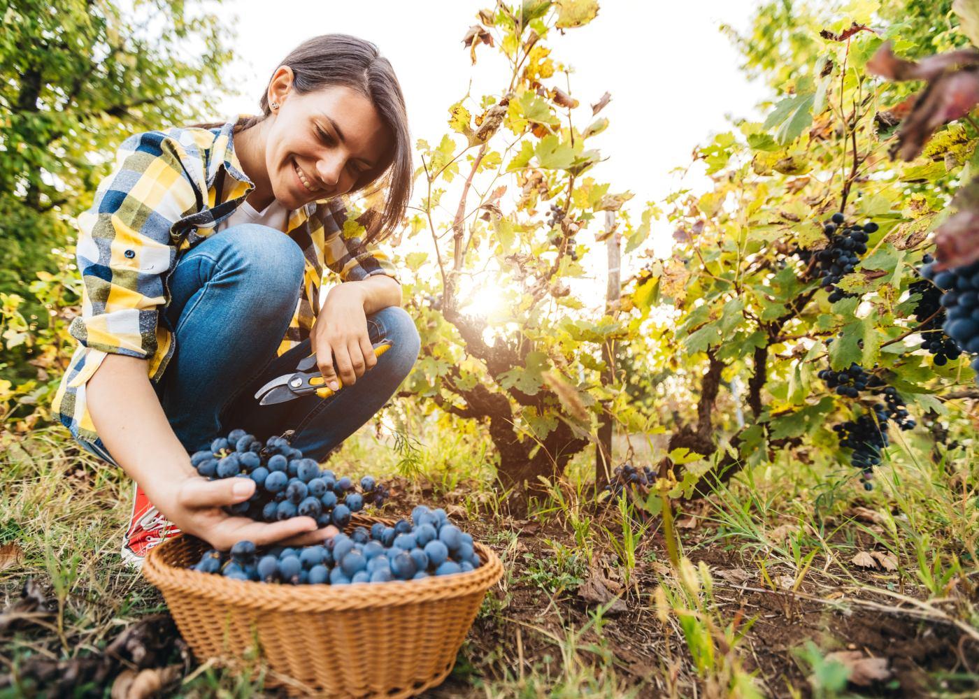 mulher a colocar uvas das vindimas dentro de um cesto