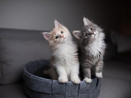 Dicas para adotar um segundo gato