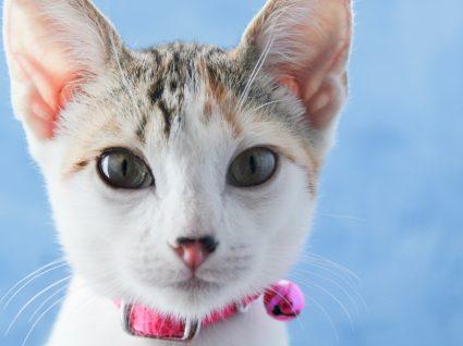Gato de coleira com guizo