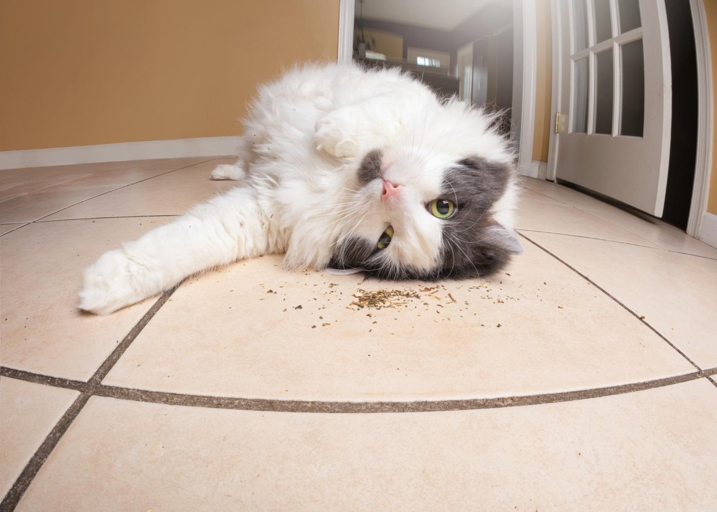 Gato a rebolar em catnip