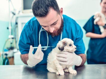 Vacinação de animais contra Covid-19