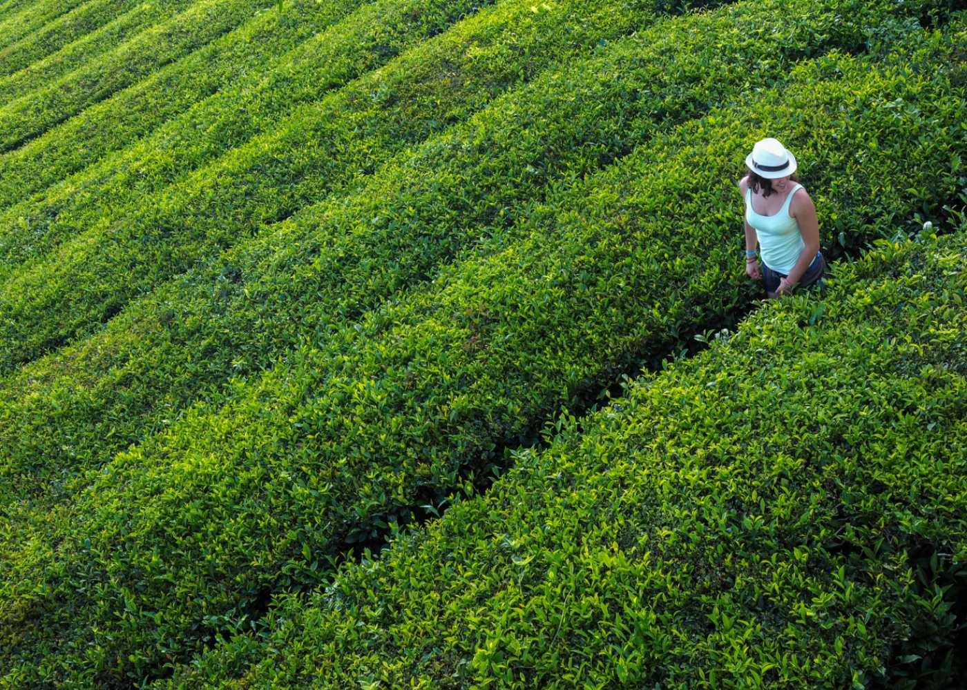 plantações chá açores