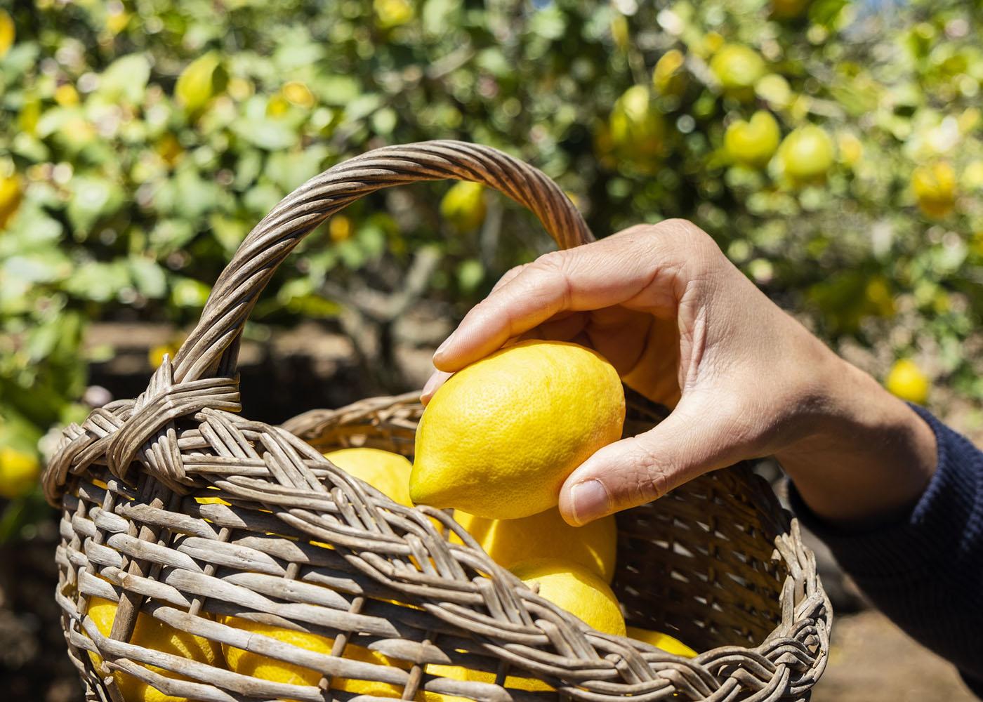 plantar limão em casa