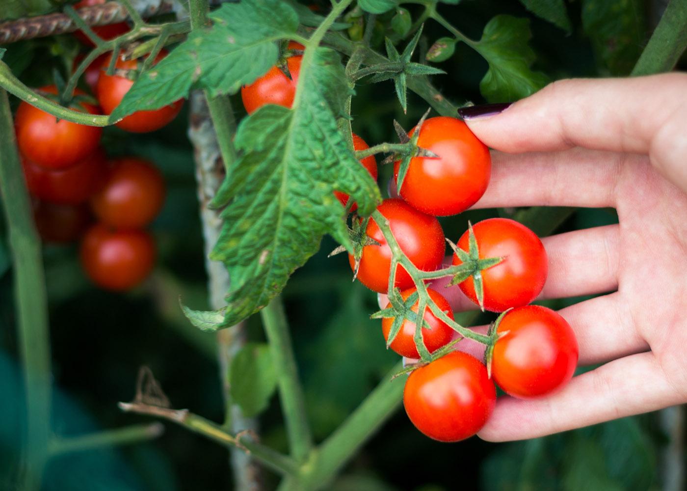 plantar tomate cereja